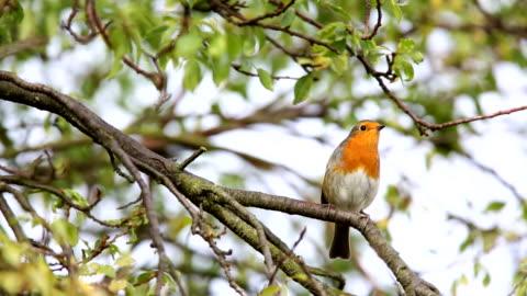 vídeos y material grabado en eventos de stock de robin landing en urbano cima del árbol - pájaro