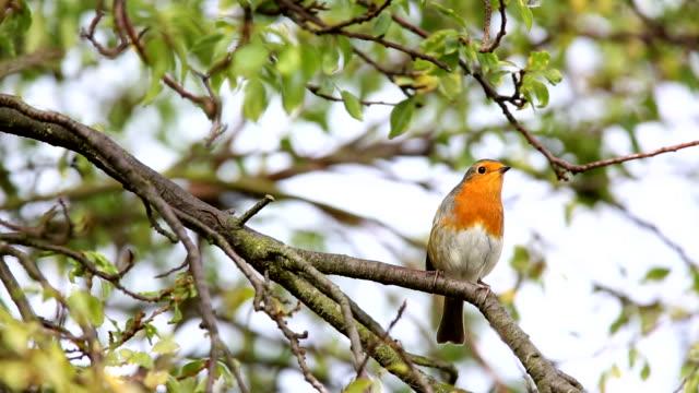 vidéos et rushes de robin atterrir dans un environnement urbain cîme d'un arbre - jardin de la maison