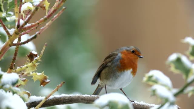 vidéos et rushes de robin sur une neige couvertes branch - jardin de la maison