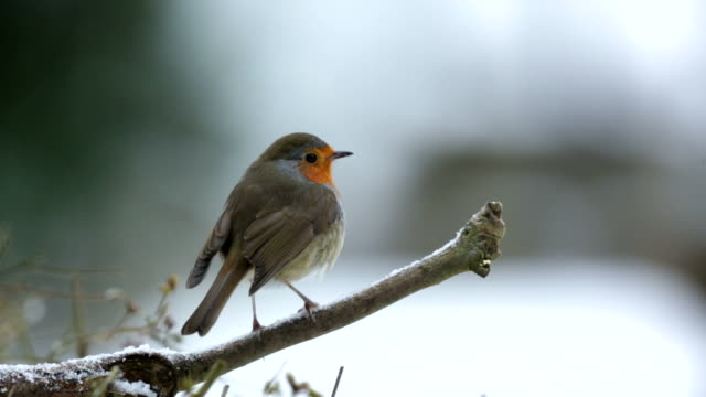 stockvideo's en b-roll-footage met robin on a snow covered branch - formal garden