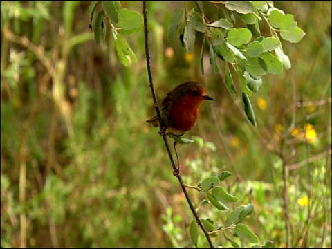 robin (erithacus rubecula) on branch, autumn, parque natural los alcornocales, andalusia, southern spain - parque natural stock videos and b-roll footage