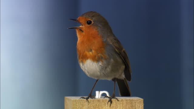 robin (erithacus rubecula) on fence post, scotland, uk - e post bildbanksvideor och videomaterial från bakom kulisserna
