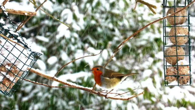 Robin or American Thrush. Winter snow bird feeders.