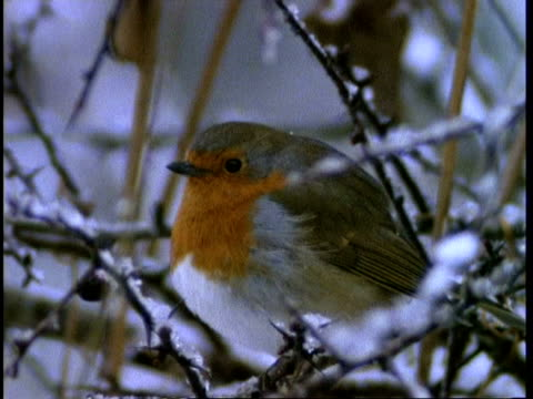 cu robin perched on snowy branches, england, uk - british culture stock videos & royalty-free footage