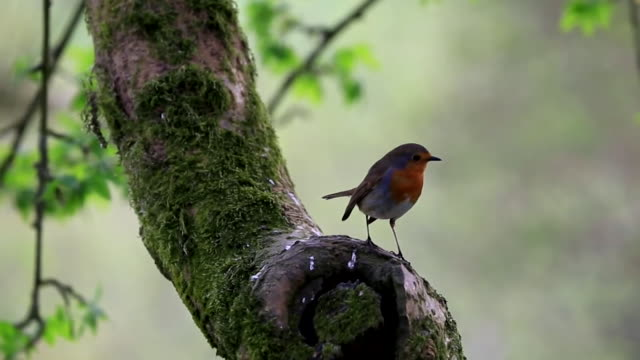robin sat on branch - branch stock videos & royalty-free footage