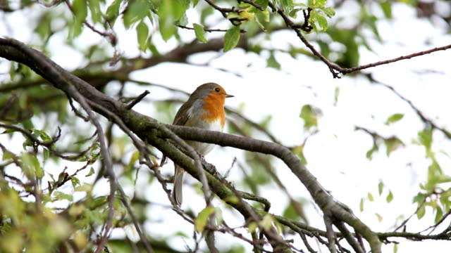 robin singing from an urban treetop - domestic garden stock videos & royalty-free footage