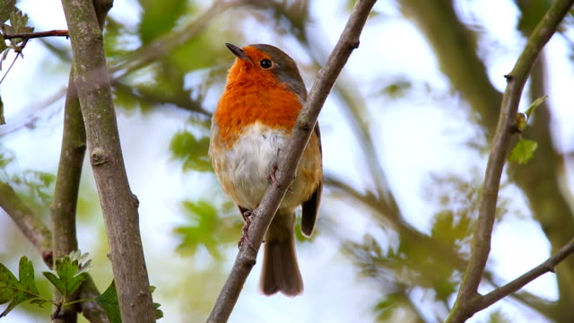 Robin Singing in an Urban Park
