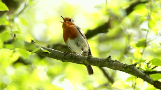 robin singing - singing stock videos & royalty-free footage