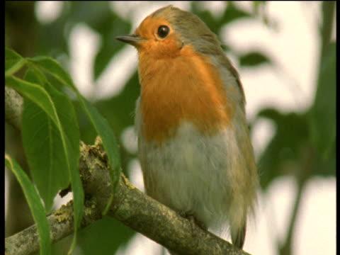 robin sings in tree, devon - birdsong stock videos & royalty-free footage