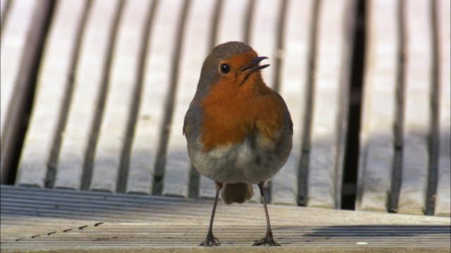 robin (erithacus rubecula) sings on garden fence, scotland, uk - birdsong stock videos & royalty-free footage