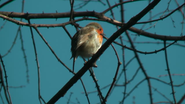 Robin sitting on a branch against clear blue sky singing
