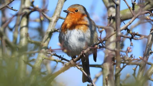 robin (erithacus rubecula) - durham england bildbanksvideor och videomaterial från bakom kulisserna