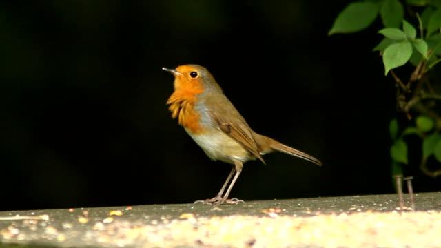 vídeos y material grabado en eventos de stock de robins en una mesa de pájaro - baño para pájaros