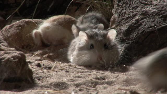 roborovski's hamster (phodopus roborowski) dig. - digging点の映像素材/bロール
