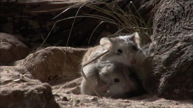 roborovski's hamster (phodopus roborowski) play in desert. - digging点の映像素材/bロール