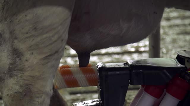 robot milking a diary cow - 乳搾り点の映像素材/bロール