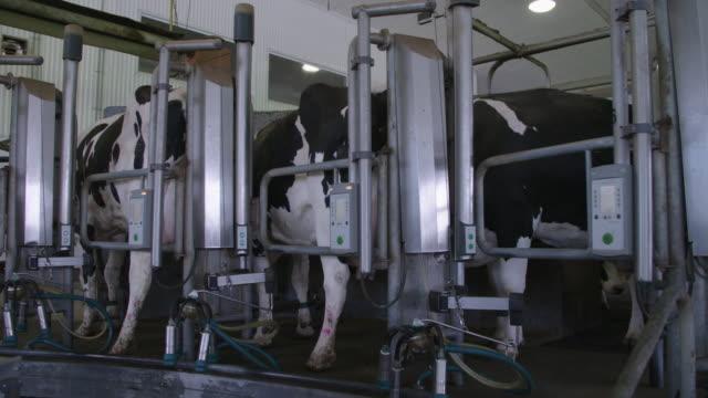robotic milking system on dairy farm - melken stock-videos und b-roll-filmmaterial