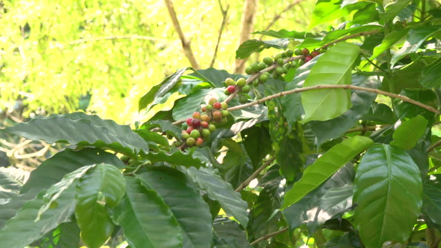 robusta coffee beans at coffee-plantation doi mae jum, lampang province, thailand - biodiversity stock videos & royalty-free footage