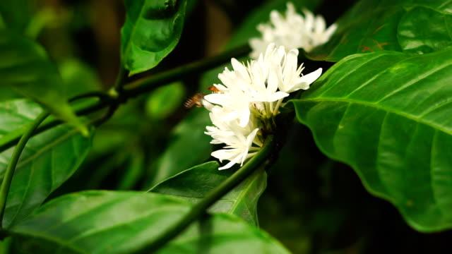 Robusta-Kaffee Blume Blüte auf grünen Ast.
