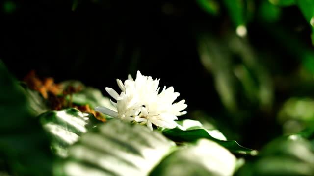 Robusta coffee flower blossom on green tree branch.