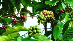 Robusta coffee plantation in Thailand.
