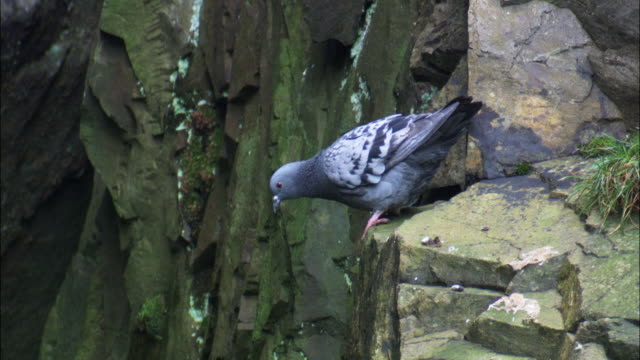 Rock dove (Columba livia) takes off from rocky cliff, Wales, UK