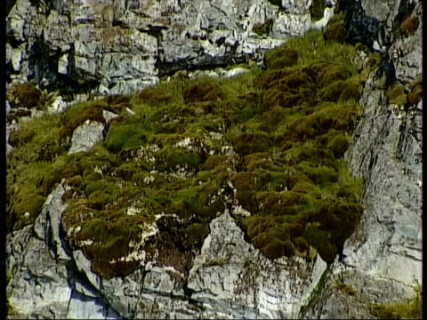 MS rock face covered in moss, Antarctica