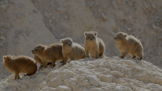 Rock Hyrax family-female suckles young ,in desert