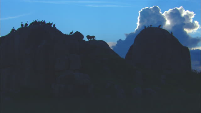 ws rock outcrop with lions and vultures in silhouette - outcrop stock videos & royalty-free footage