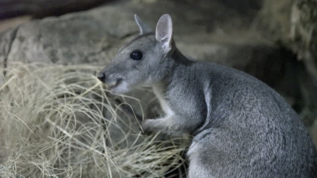 rock wallaby foraging for food and eating - foraggiamento video stock e b–roll