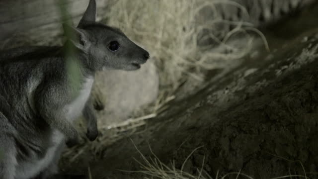 rock wallaby sniffing and foraging for food - foraggiamento video stock e b–roll