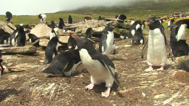 ms rockhopper penguin alone in colony looks nervous then calls - flightless bird stock videos & royalty-free footage