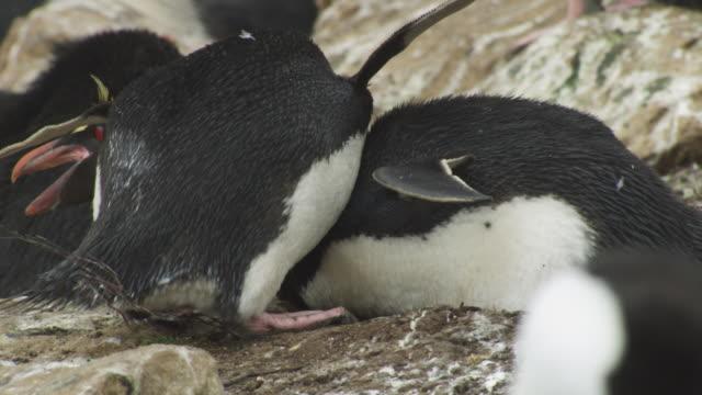 cu rockhopper penguin attacks second penguin on nest then turns on third penguin - mittelgroße tiergruppe stock-videos und b-roll-filmmaterial