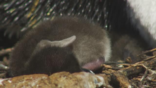 CU Rockhopper Penguin chick curled up at feet of parent at nest