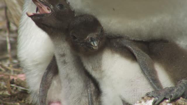 vídeos de stock e filmes b-roll de cu 2 rockhopper penguin chicks calling and squabbling on feet of parent at nest - grupo pequeno de animais