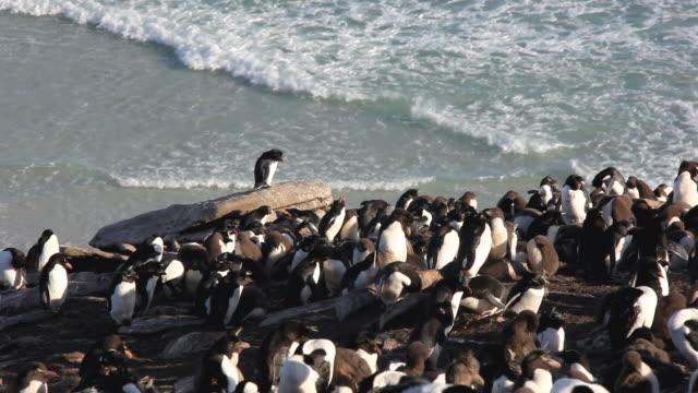 stockvideo's en b-roll-footage met ws ha rockhopper penguin (eudyptes chrysocome) colony on beach / saunders island, falkland islands - atlantische eilanden