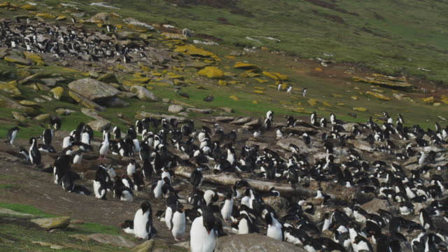 WS Rockhopper Penguin colony on moorland with penguins arriving in background