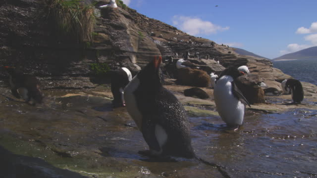 vidéos et rushes de ms rockhopper penguin drinks from waterfall over rock very close to camera - 40 secondes et plus