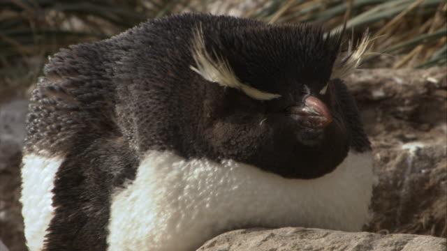 stockvideo's en b-roll-footage met cu, rockhopper penguin, headshot, new island, antarctica - atlantische eilanden