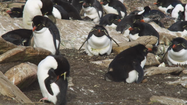 Rockhopper Penguin on nest with 2 chicks shakes and preens
