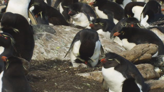 Rockhopper Penguin preens chick on nest in middle of colony