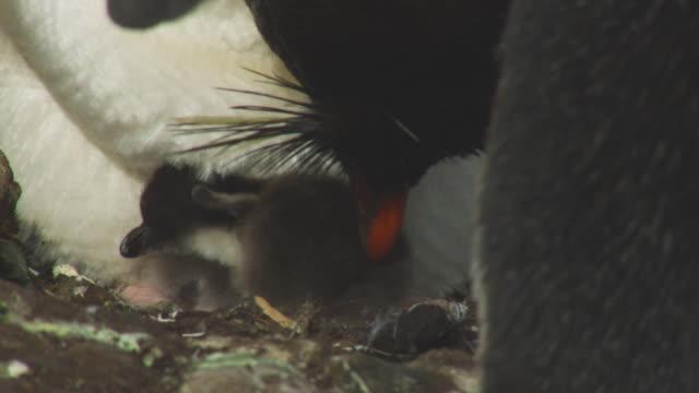 CU Rockhopper Penguin preens chick on nest