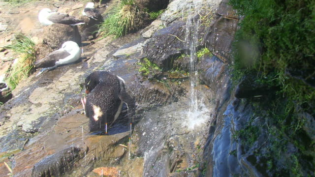 ha rockhopper penguin showering under waterfall and preening - preening animal behavior stock videos & royalty-free footage