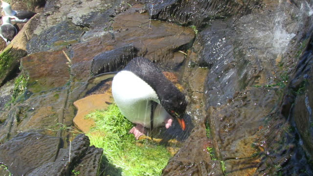 ha rockhopper penguin showering under waterfall and preening with its foot - isole dell'oceano atlantico video stock e b–roll