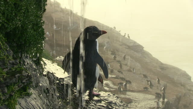 ms rockhopper penguin showering under waterfall and preening with sea in background - 40 seconds or greater stock videos & royalty-free footage