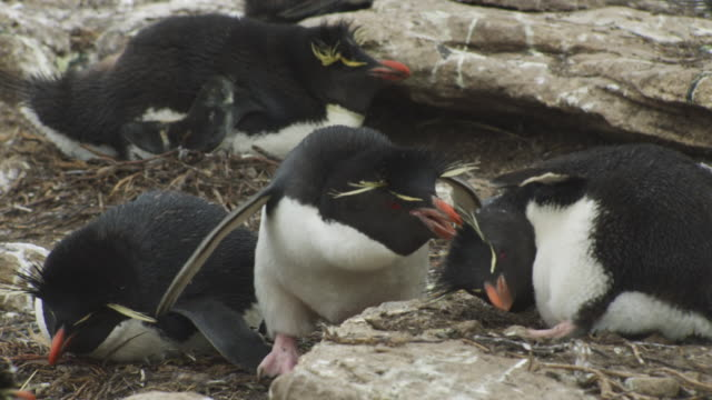 ms pan rockhopper penguin turns to attack penguin on nest - mittelgroße tiergruppe stock-videos und b-roll-filmmaterial