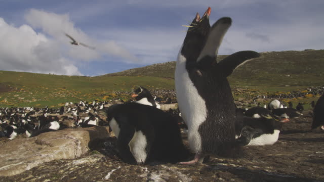 rockhopper penguins call and display at nest very close to camera - schwingen stock-videos und b-roll-filmmaterial