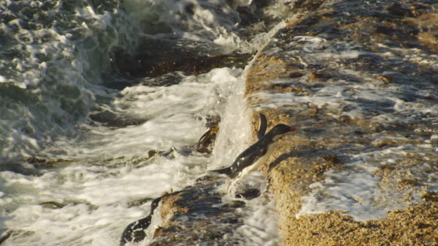 vídeos de stock, filmes e b-roll de rockhopper penguins climb onto rocks in huge breaking waves - ilhas do oceano atlântico