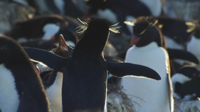 cu rockhopper penguins displaying in evening light - mittelgroße tiergruppe stock-videos und b-roll-filmmaterial