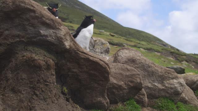 vídeos de stock, filmes e b-roll de rockhopper penguins hop down rocks very close to camera with grass in background - grupo pequeno de animais
